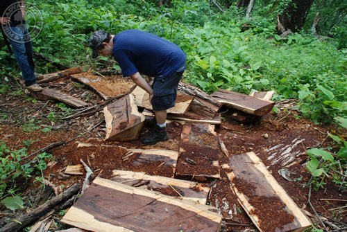 Hardwood expert, Jason Peters inspecting a pile of cocobolo lumber.