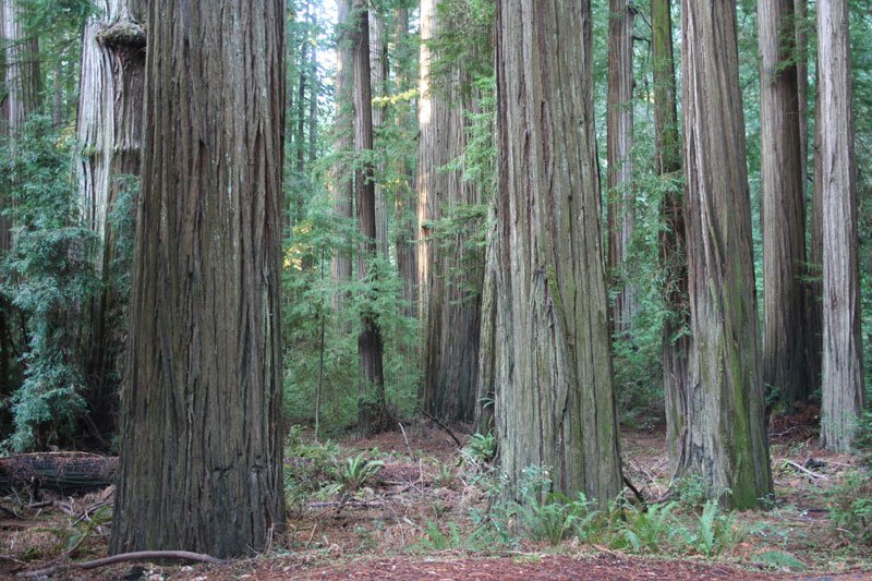 Old growth Redwood forests now protected for conservation