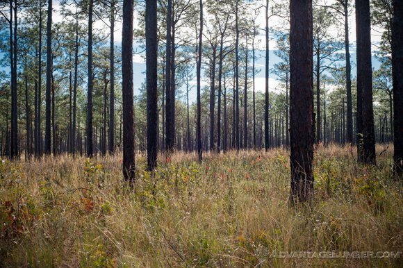 With tree planting efforts, we hope to restore all of the Ocala National Forest back to this.